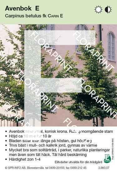 Carpinus betulus Carin E