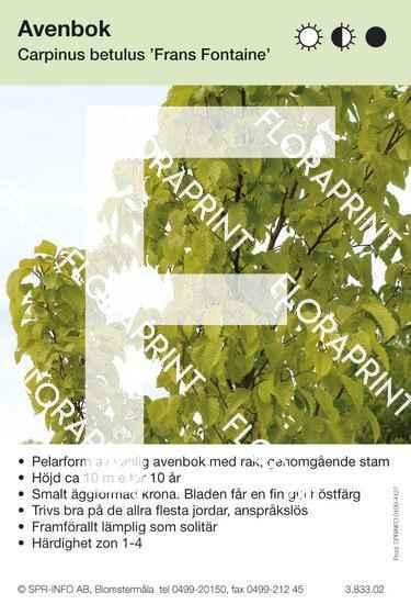 Carpinus betulus Frans Fontaine