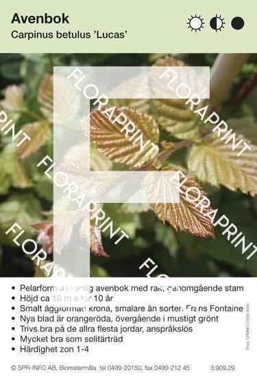 Carpinus betulus Lucas