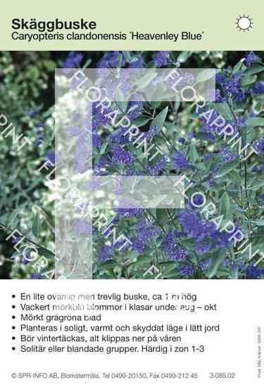 Caryopteris cland Heavenley Blue