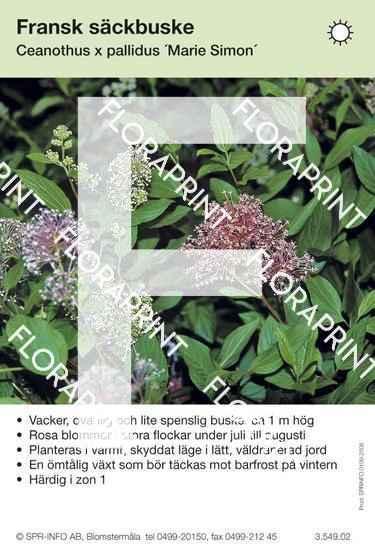 Ceanothus x pallidus Marie S.