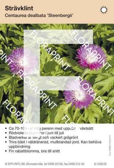 Centaurea dealbata Steenbergii