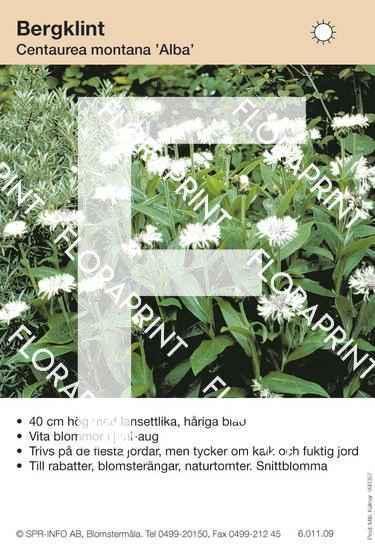 Centaurea montana Alba