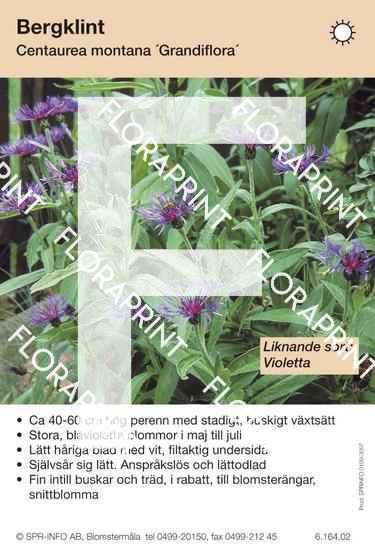 Centaurea montana Grandiflora