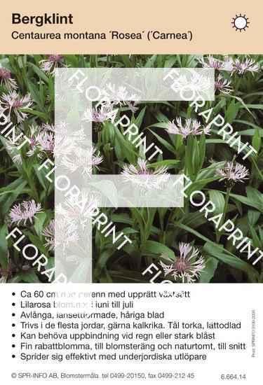 Centaurea montana Rosea