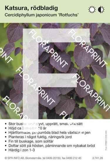 Cercidiphyllum japonicum Rotfuchs
