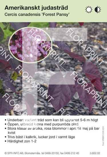Cercis canadense Forest Pansy