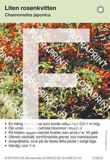 Chaenomeles japonica (allmän)