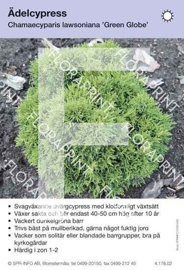 Chamaecyparis laws Green Globe