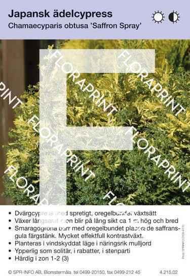 Chamaecyparis obtusa Saffron Spray