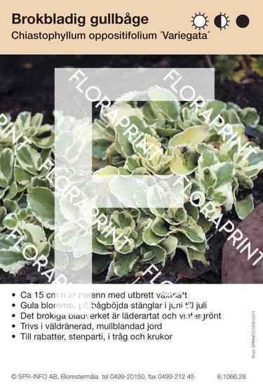Chiastophyllum oppositifolium Variegata