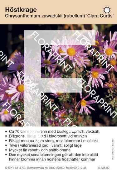 Chrysanthemum zawadskii (fd rubellum) Clara Curtis