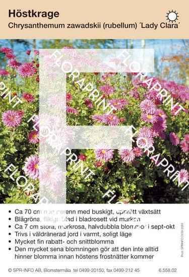 Chrysanthemum zawadskii (fd rubellum) Lady Clara