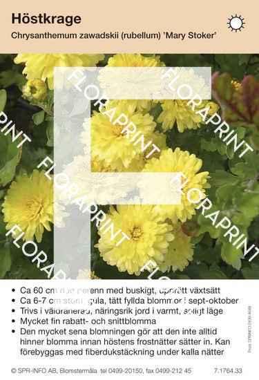Chrysanthemum zawadskii (fd rubellum) Mary Stoker
