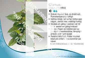 Cissus antarctica