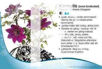 Clematis Fortunei-Gruppen