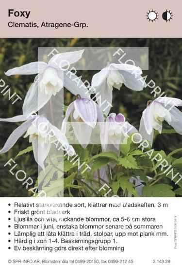Clematis Foxy