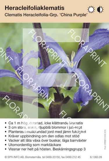 Clematis heracleifolia China Purple