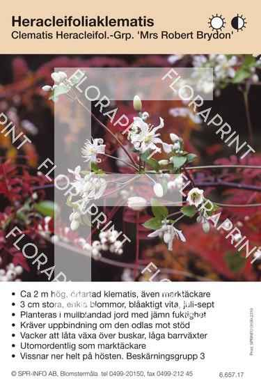 Clematis heracleifolia Mrs Robert Brydon