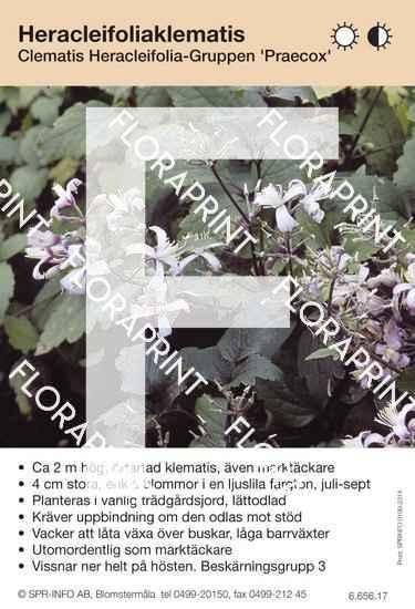 Clematis heracleifolia Praecox