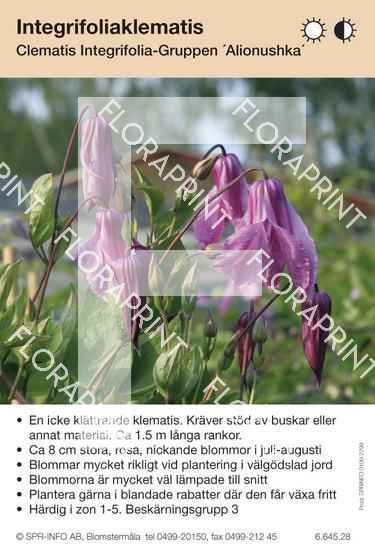 Clematis integrifolia Alionushka