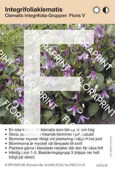 Clematis integrifolia Floris V