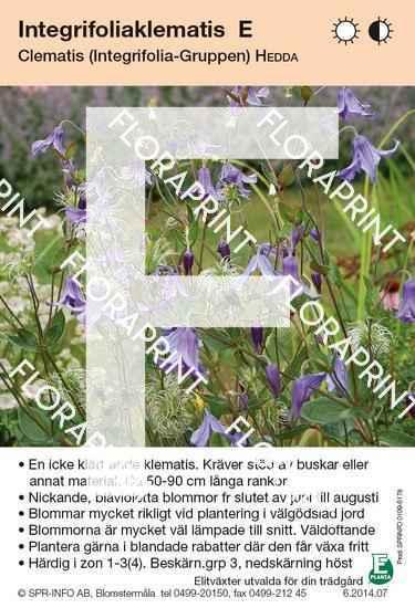 Clematis integrifolia Hedda E
