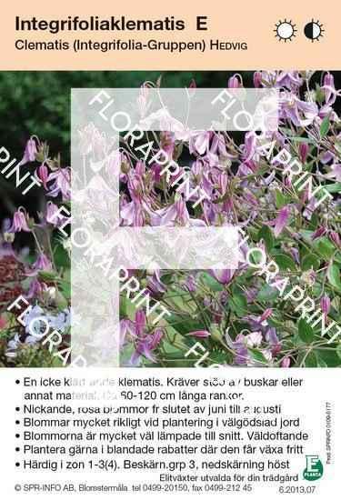 Clematis integrifolia Hedvig E
