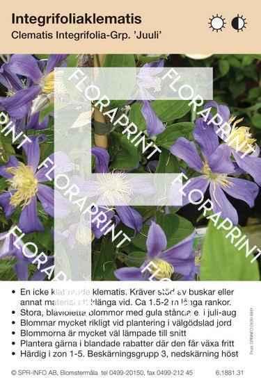 Clematis integrifolia Juuli