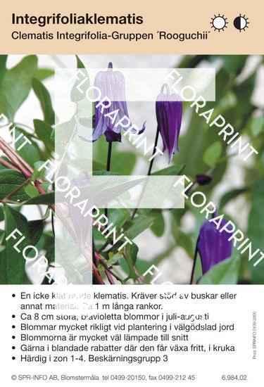 Clematis integrifolia Rooguchii