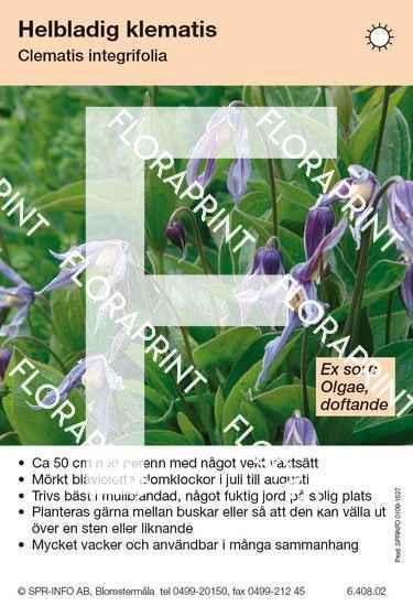 Clematis integrifolia (sorter:)