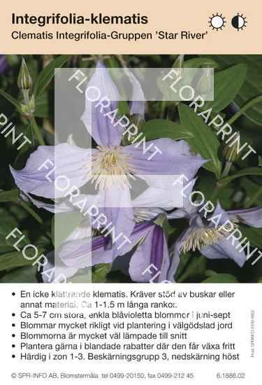Clematis integrifolia Star River