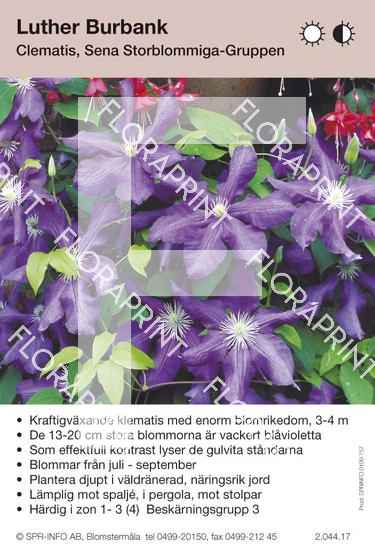 Clematis Luther Burbank
