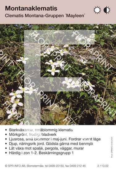 Clematis montana Mayleen
