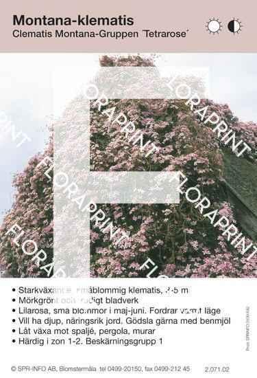Clematis montana Tetrarose