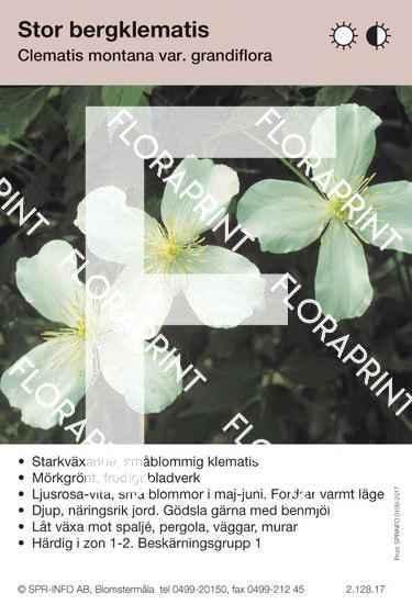 Clematis montana v. grandiflora