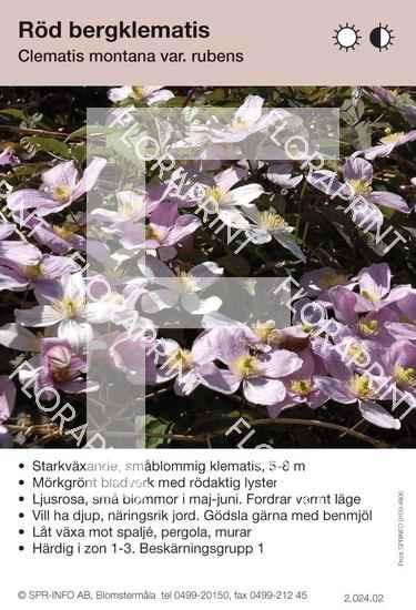Clematis montana v. rubens