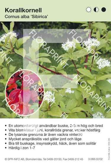Cornus alba Sibirica