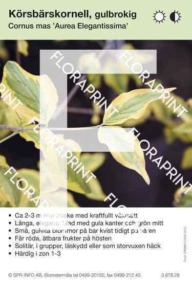 Cornus mas Aurea Elegantissima