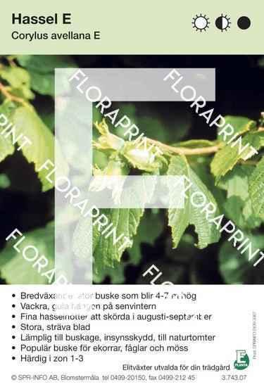 Corylus avellana E