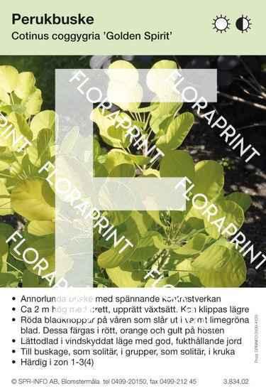 Cotinus coggygria Golden Spirit