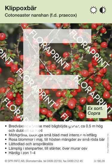 Cotoneaster nanshan