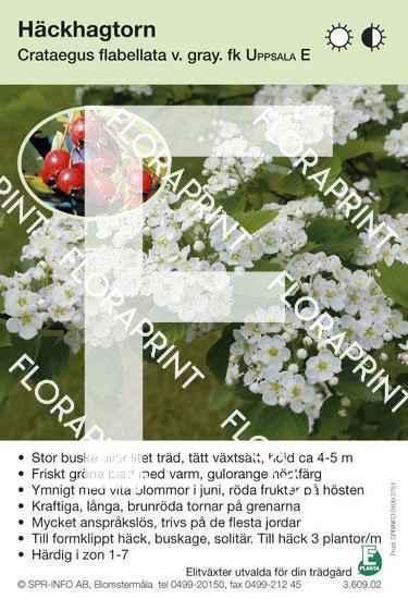 Crataegus flabellata v grayana Uppsala E
