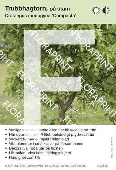 Crataegus monogyna Compacta