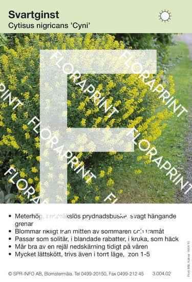 Cytisus nigricans Cyni