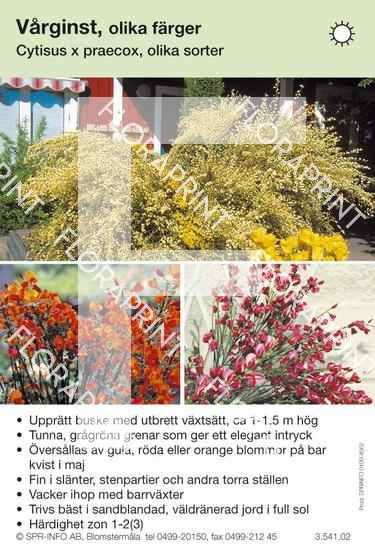 Cytisus praecox allmän blandade färger