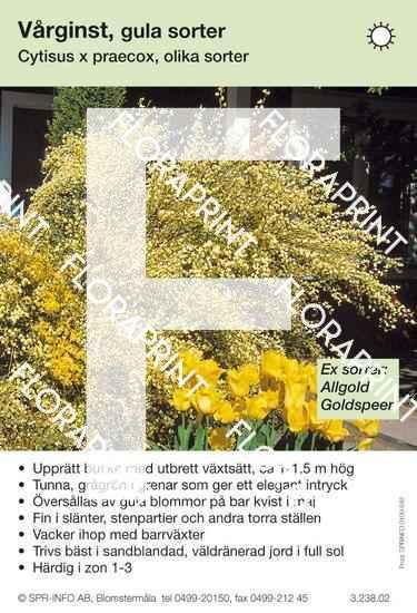 Cytisus praecox allmän gul (sorter:)
