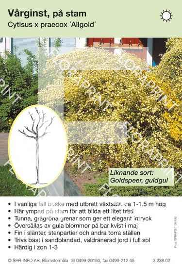 Cytisus praecox gul stam