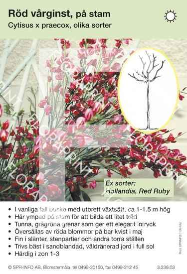 Cytisus praecox röd stam