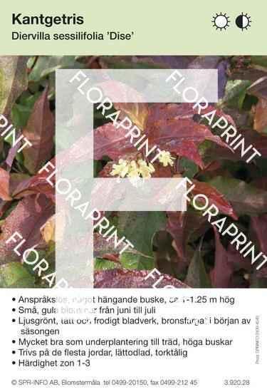 Diervilla sessilifolia Dise